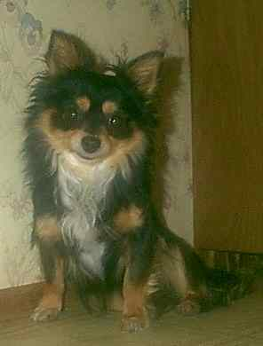 black and tan long coat chihuahua male