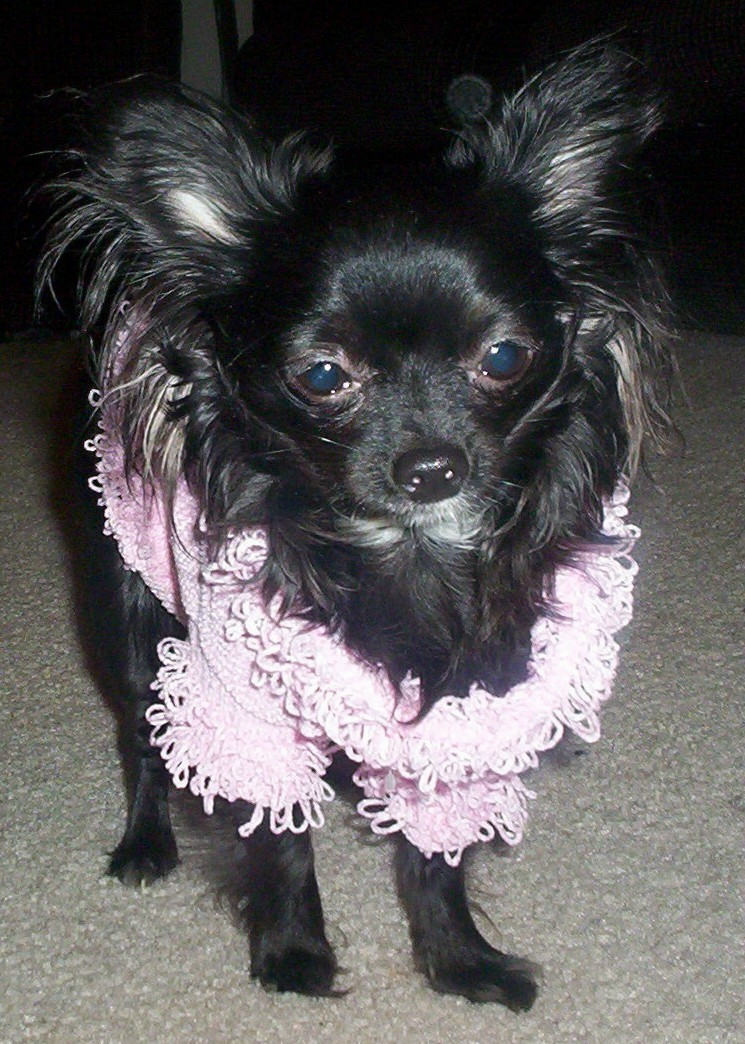 Paige A Solid Black Long Haired Chihuahua